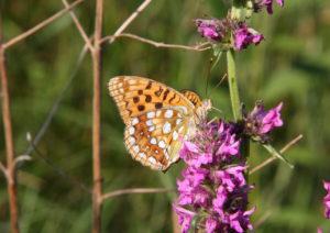 Motýlí království