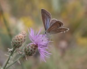 tresina-daphnis-samice-1