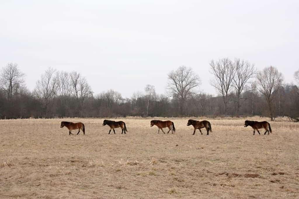 Instrukce a pozvánka na vypuštění divokých koní z aklimatizační ohrady