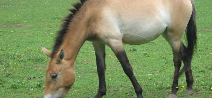 Kůň Převalského není jako mustang. I přes nejnovější objev vědců