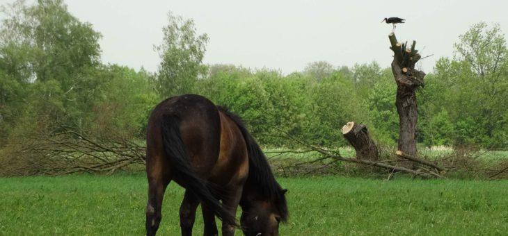 Vypuštěný čáp využívá pastvinu divokých koní
